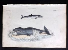 Richardson 1862 Hand Col Print. Common Greenland Whale